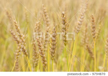 春天小麦麦苗简笔画展示