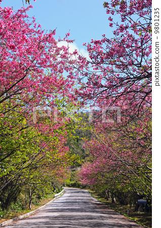 照片: 一排樱桃树 黄花 数目