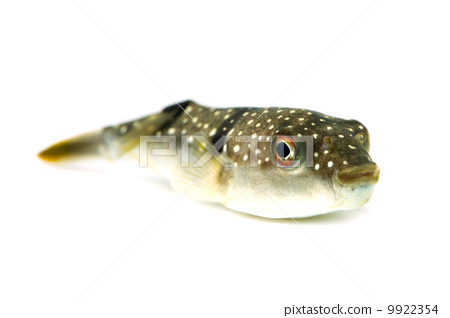 图库照片: 鱼 河豚 河豚鱼