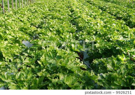 首页 照片 蔬菜_食品 蔬菜 芹菜 芹菜 菜地 田野  *pixta限定素材仅在