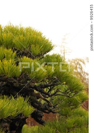 照片素材(图片): 南欧黑松 灌装的 盆栽