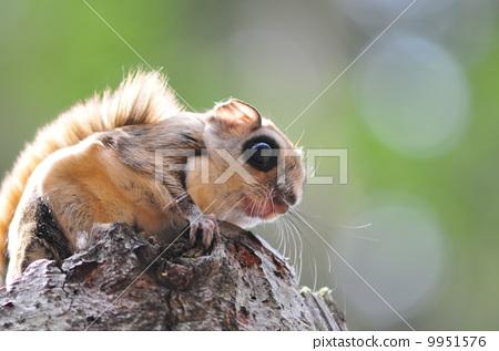 小飞鼠 野生动物 野生生物