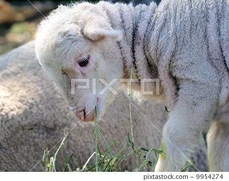 最可爱笑容的小羊图片