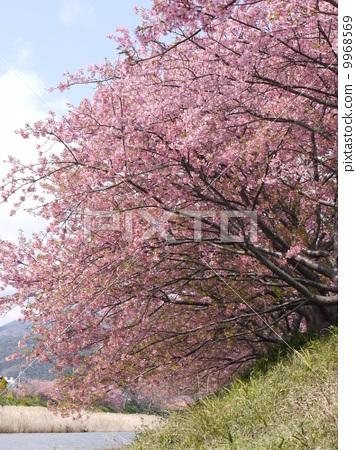 樱花 河津樱 樱桃树