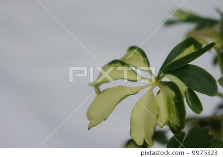 银杏叶 树叶-图片素材