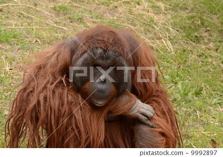 猩猩 动物群 陆生动物