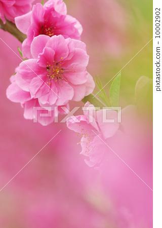 花朵 正在开花的桃树 开花