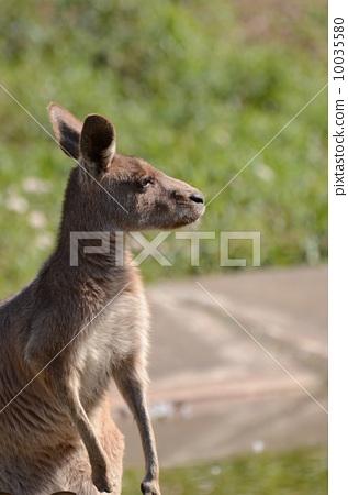 袋鼠 一只动物 陆生动物