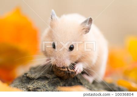 图库照片: 仓鼠 金仓鼠 小动物