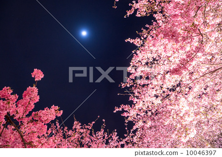盛开 夜晚的樱花树 照亮