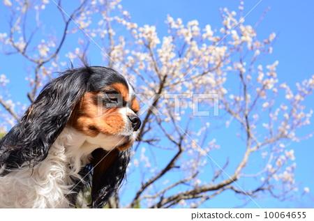 动物 查理士王小猎犬 动物宝宝