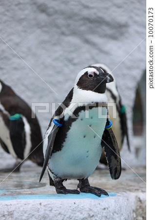图库照片: 黑脚企鹅 企鹅 动物