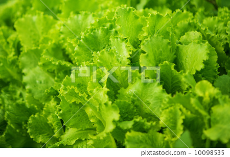 图库照片: green leaf lettuce growing