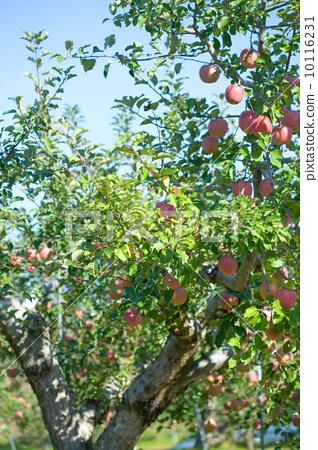 苹果 苹果树上 坚果