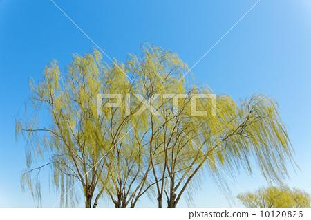 柳树 春天