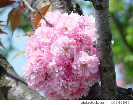 照片: 樱花 樱桃树 诱骗