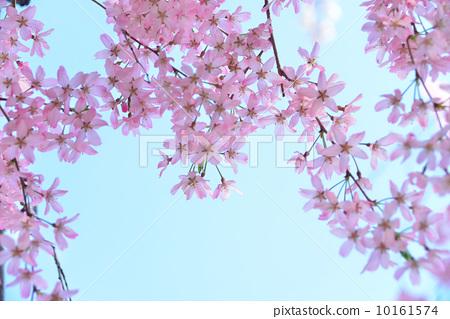 樱花 树枝低垂的樱花树 分支
