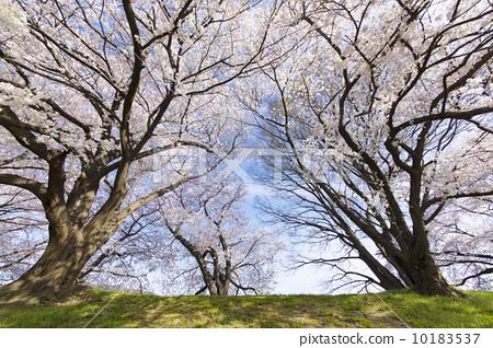 盛开 樱花 一排樱桃树