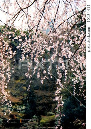 樱花 树枝低垂的樱花树 春天