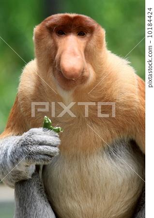 图库照片: 长鼻猴 婆罗洲 猴子