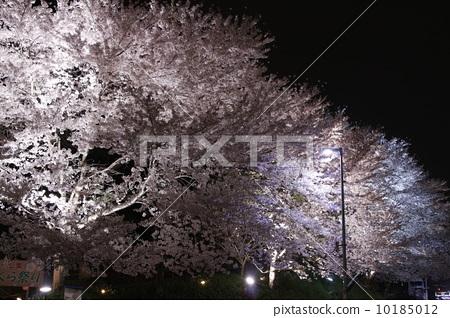 照片 植物_花 樱花 樱花 夜樱 夜晚的樱花树 照亮  *pixta限定素材仅