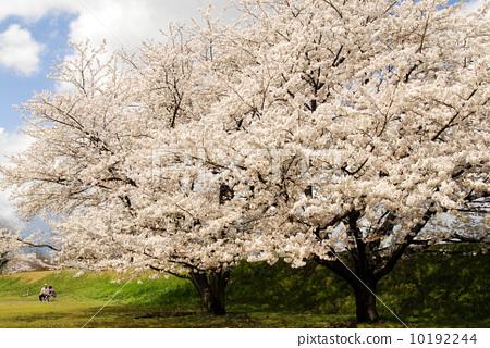 盛开 樱花 樱桃树-图片素材 [10192244] - pixta