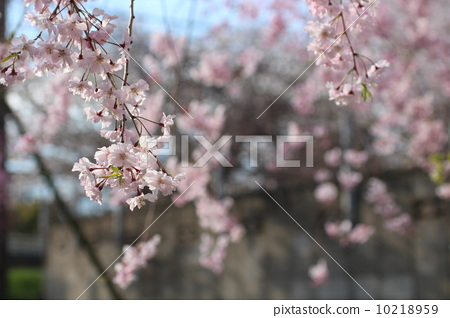 樱花 树枝低垂的樱花树 流