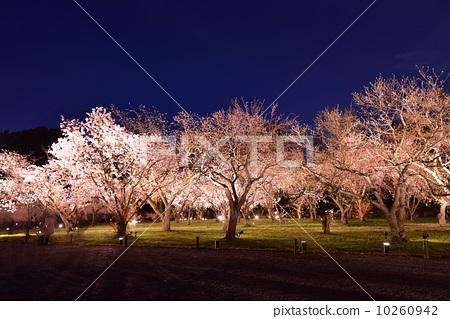 照亮 二条城 夜晚的樱花树-图片素材 [10260942]