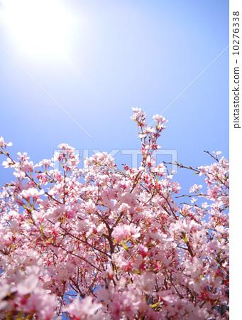 幼儿园毕业 樱桃树