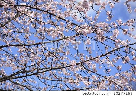 樱花 吉野樱花树 蓝色背景