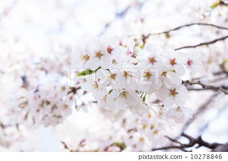 樱花 吉野樱花树 树枝