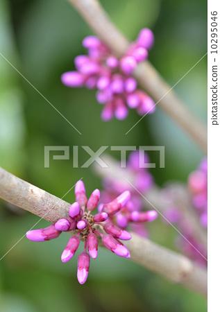 活动_节日 圣诞节 圣诞树 紫荆灌木 小花 紫荆花  *pixta限定素材仅在