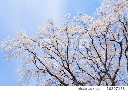 首页 照片 植物_花 樱花 樱花 垂枝樱花 樱花 樱桃树  *pixta限定素材