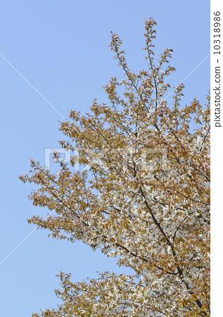 照片素材(图片): 樱树 樱花 樱