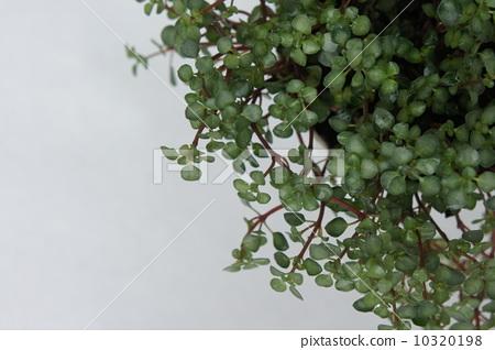 照片 植物_花 观叶植物 室内盆栽 观叶植物 攀援植物  *pixta限定素材