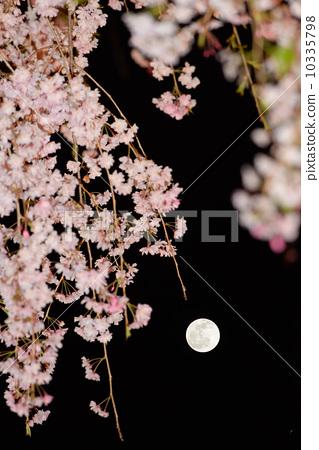 植物_花 樱花 樱花 垂枝樱花 夜樱 夜晚的樱花树  *pixta限定素材仅在