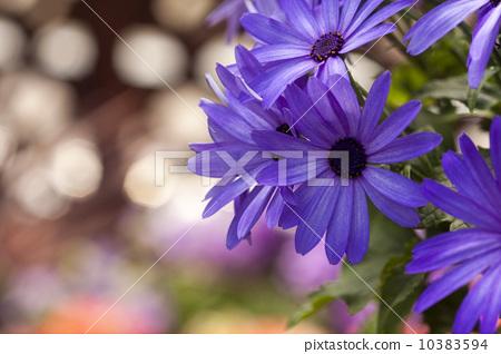照片素材(图片): 富贵菊 一年生植物 单瓣花