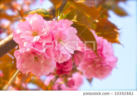 樱花 野樱桃树 春天