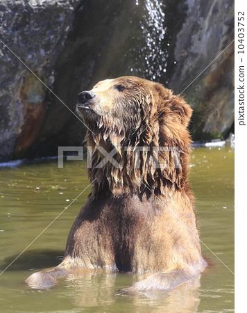 图库照片: 棕熊 陆生动物 熊