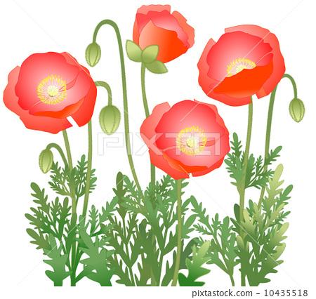图库插图: 佛兰德斯红罂粟 花朵 花卉