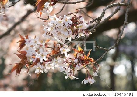 樱花 野樱桃树 明亮
