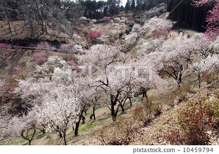 盛开 梅花树 春天