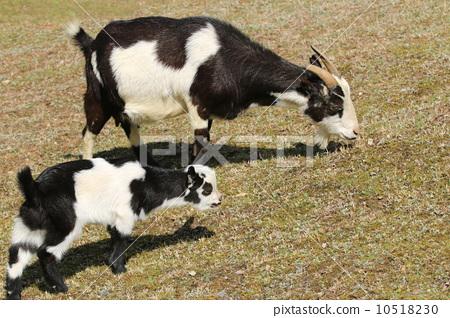 照片: 父母和小孩 山羊 食草动物
