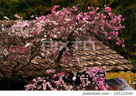 正在开花的桃树 黄花 粉色