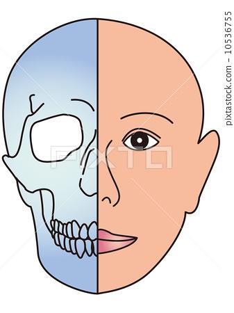 插图 矢量图 脸部 面部的 结构
