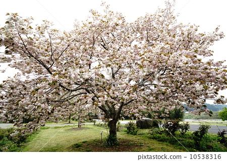 樱花 重瓣樱树 樱桃树