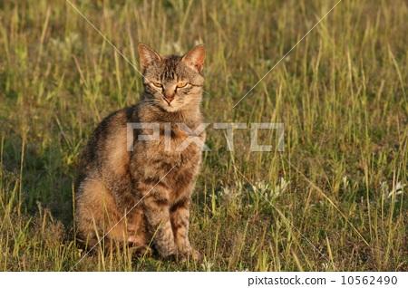 胆小的 猫 动物群