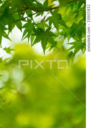 图库照片: 绿色枫树照片材料季节性风景