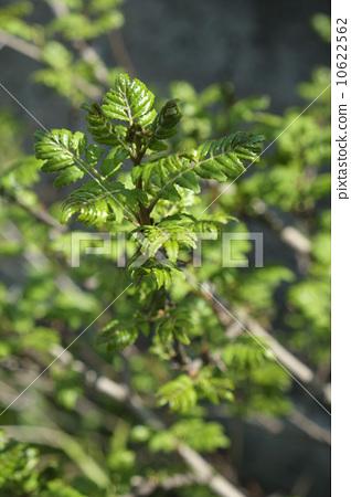 照片 日本辣椒 花椒 树叶  pixta限定素材      日本辣椒 花椒 树叶