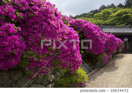 照片素材(图片): 杜鹃花 盛开 茂盛